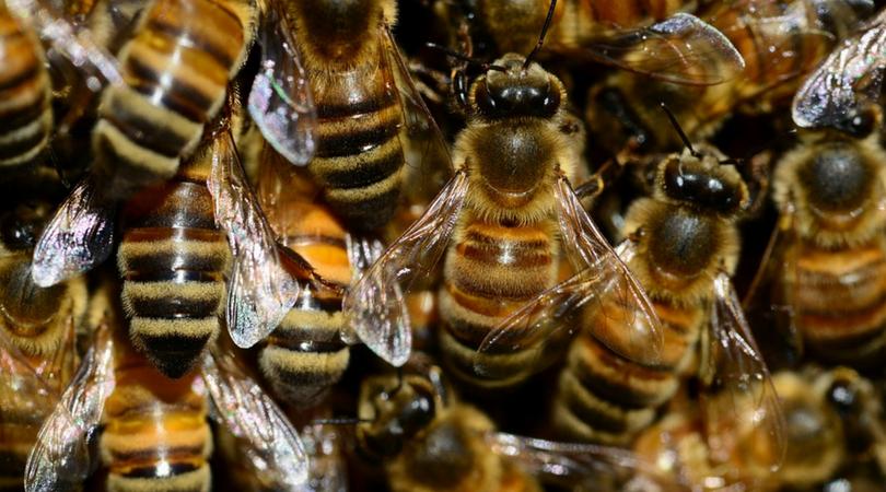 pszczoły, użądlenie przez pszczołę, pszczoły afrykańskie