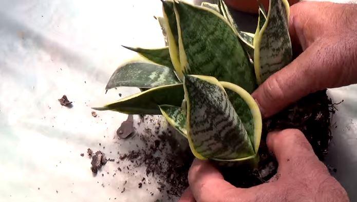 Sansewieria, rośliny doniczkowe, Sansewieria właściwości zdrowotne