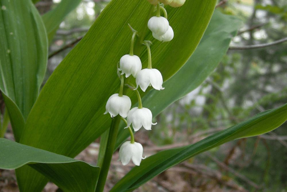trujące rośliny, konwalia majowa