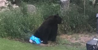 niedźwiedziem